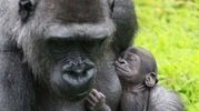 Gorila foi pai